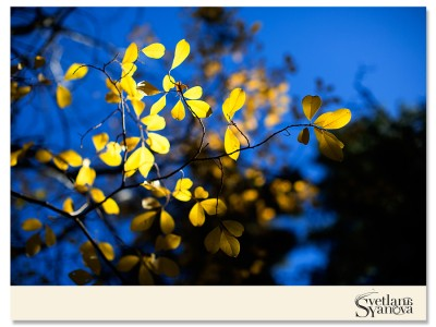 fall photos in banff, fall colors, fall in banff, beautiful photos banff, yellow trees